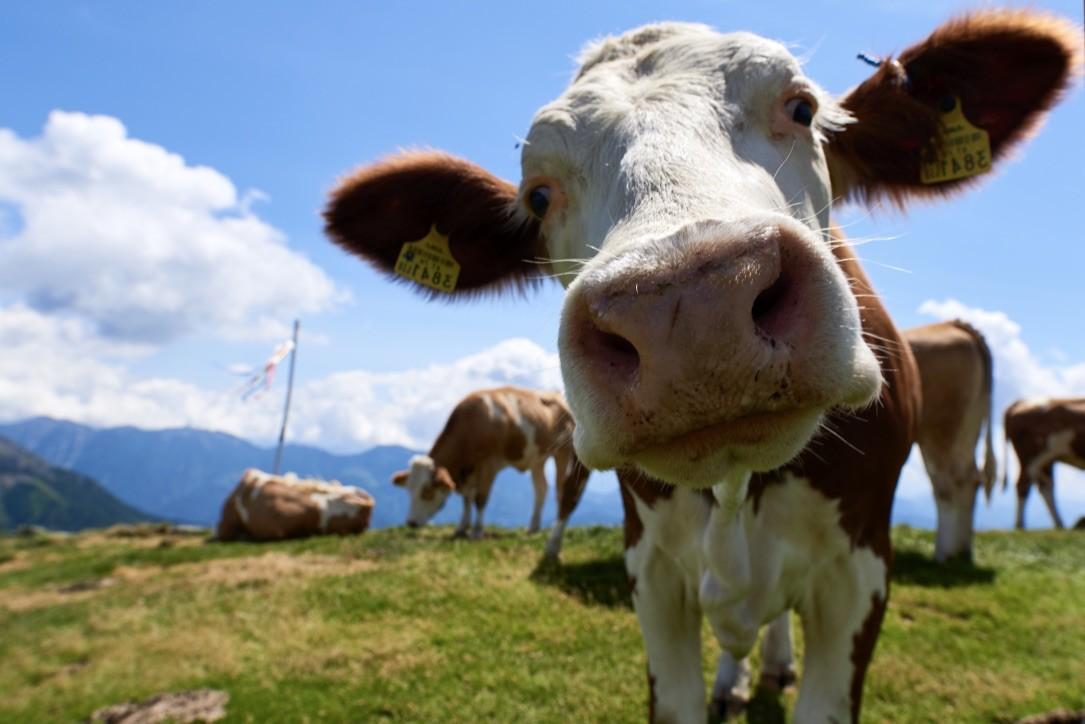 Neufi: Kühe