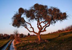 Mistelbaum im Abendlicht