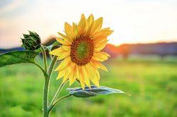 Carsten: Sonnenblumen