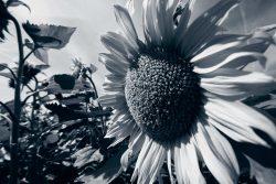 Neufi: Sonnenblumenfeld