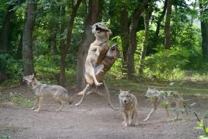 Wölfe während der Fütterung